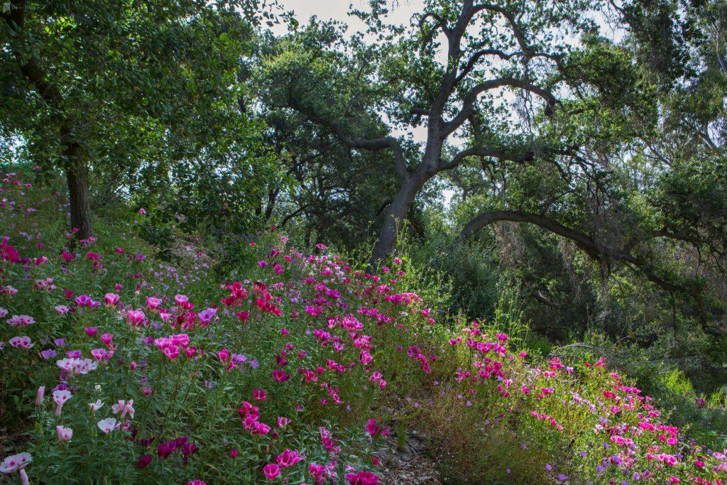 clarkia-pink-flowers